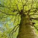 RayB01-Looking-Up-at-a-Beech-Tree-in-Spring-APRIL