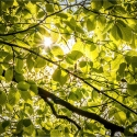 RayB02-Beech-Wood-Canopy-in-Spring-APRIL