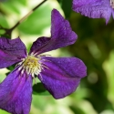 JackieW-Clematis-Apr-03-1