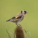 GOLDFINCH ON TEASEL by Terry George